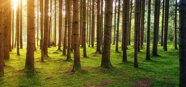 Sie sehen einen Kiefernwald