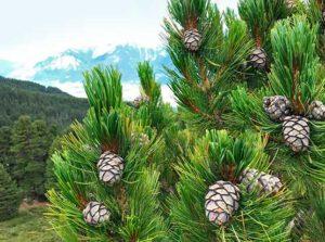 Österreicher Alpen mit Zirbenbäumen