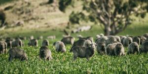 Eine Herde Schafe grast auf einer Wiese